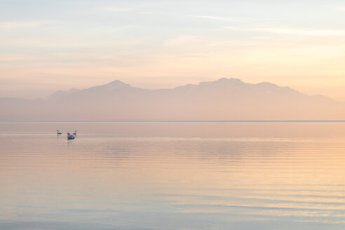 Germany, Bavaria, Swans floating on lake Chiemsee at a winter sunset - MMAF00141