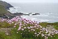 UK, Cornwall, Sea thrift, Armeria maritima growing at the coast - SIEF07529