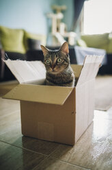 Tabby cat inside cardboard box - RAEF01940