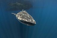 Indonesia, Papua, Cenderawasih Bay, Whale shark - TOVF00094