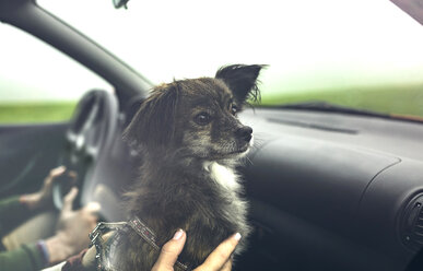 Portrait of small dog inside of car looking aside while travelling - DAPF00812