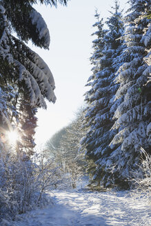 Germany, North Rhine-Westphalia, Eifel National Park, snow-covered path and firs at backlight - GWF05254