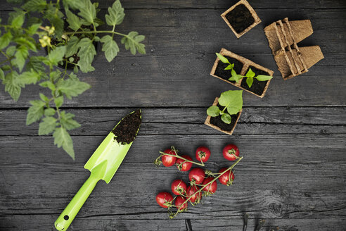 Hand trowel, tomatoes, tomato plant and seedlings on dark wood - PDF01414
