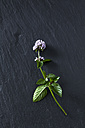Twig of blossoming peppermint on slate - CSF28311