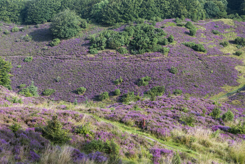 Denmark, Rebild Bakker naturepark, blooming heather - HWOF00218