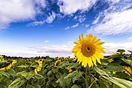 Sunflower field - SMAF00836