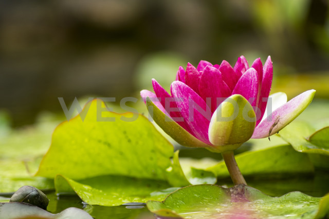 Pink water lily in a pond - PUF00765