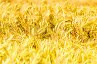Field of wheat - SMAF00841