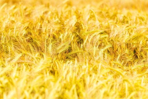 Field of wheat - SMAF00841