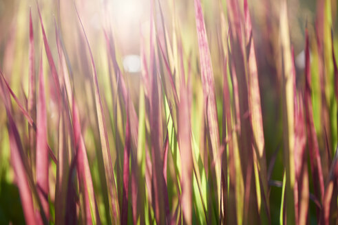 Blades of grass at backlight, close-up - GUFF00278