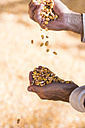 Grains of maize in hand - UUF11930