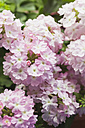 Blossoming pink Verbena - GWF05288
