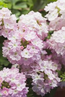 Blossoming pink Verbena - GWF05288