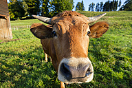 Portrait of Murnau-Werdenfels Cattle on pasture - LBF01681