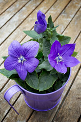 Blossoming potted Balloon Flower - CSF28359