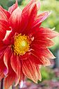 Red dahlia, close-up - CSF28362
