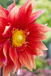 Red dahlia, close-up - CSF28362