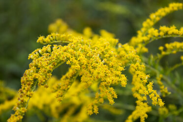 Goldenrod - CSF28377