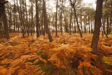 France, Bretagne, autumnal forest - FCF01290