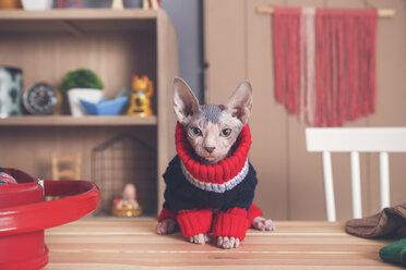Portrait of Sphynx cat on table wearing pullover - RTBF01055