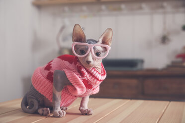 Portrait of Sphynx cat on table wearing pink pullover and funny glasses - RTBF01076