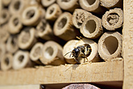 Red mason bee at insect hotel - CSF28379