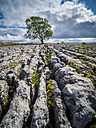 Great Britain, England, Yorkshire Dales National Park, lonely tree - STSF01318