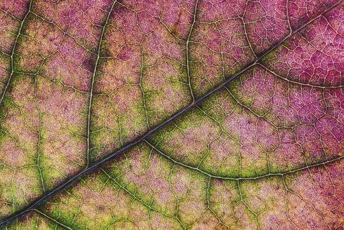 Autumn leaf - MJOF01432