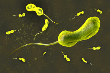 3D rendered Illustration of a anatomically correct convergence to a vibrio cholerae bacterium causing the famous cholera disease - SPCF00255