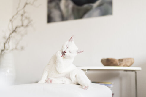White cat licking paw in the living room - CHPF00441