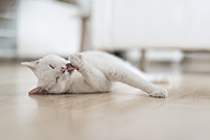 White cat lying on floor of the living room licking paw - CHPF00444