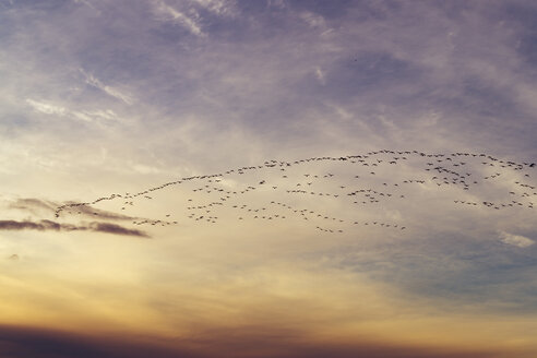 Great Britain, Scotland, East Lothian, Aberlady Nature Reserve, Pink-Footed Geese, Anser brachyrhynchus - SMAF00844