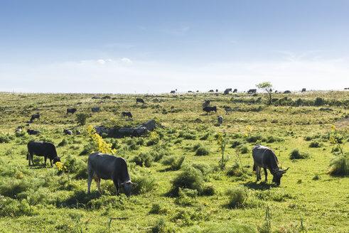 Italy, Basilicata, Matera, Parco della Murgia Materana, cattles on meadow - CSTF01468