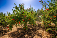 Spain, Mondron, blossoming pomegranate trees in orchard - SMAF00859