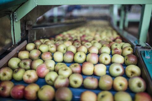 Apples in factory on conveyor belt - ZEF14686