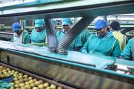 Women working in apple factory - ZEF14695