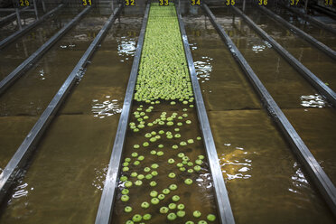 Green apples in factory being washed - ZEF14722