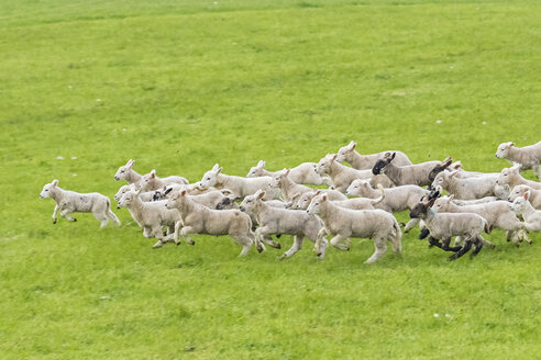 Great Britain, Scotland, Scottish Highlands, flock of sheep running - FOF09418