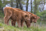 Great Britain, Scotland, Scottish Highlands, Highland cattles, two young animals - FOF09421