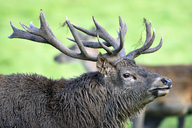 England, Portrait of red deer, Cervus elaphus - MJOF01438
