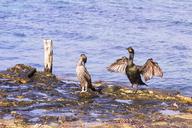 Spain, Formentera, two cormorants standing on rock - CMF00750