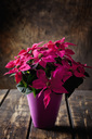 Pink potted Poinsettia on dark wood - CSF28515