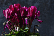 Pink Cyclamen in front of dark ground - CSF28518