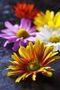 Flowerheads of Chrysanthemum - CSF28524