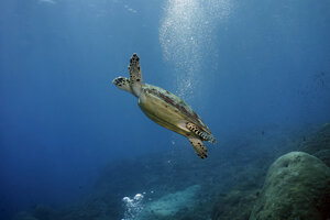 Indonesia, Bali, Nusa Lembongan, hawksbill turtle, Eretmochelys imbricata - ZC00562