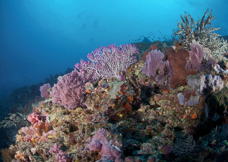Indonesia, Bali, Nusa Lembongan, Reef with pink sea fans - ZC00573