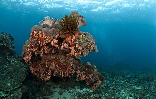 Indonesia, Bali, Nusa Lembongan, tropical reef, red corals - ZC00576
