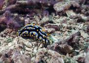 Indonesia, Bali, Nusa Lembongan, Swollen Phyllidia, Phyllidia varicosa - ZC00582