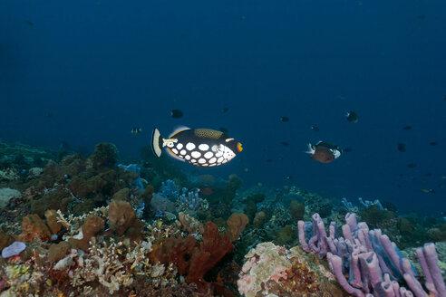Indonesia, Bali, Nusa Lembongan, clown triggerfish, Balistoides conspicillum - ZC00585