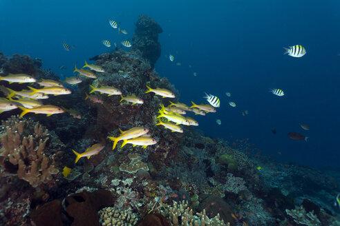 Indonesia, Bali, Nusa Lembongan, yellowtail snapper, Ocyurus chrysurus - ZC00588